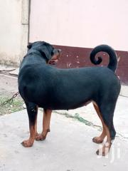 Adult Female Purebred Rottweiler | Dogs & Puppies for sale in Greater Accra, Teshie-Nungua Estates