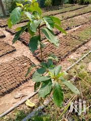 High Quality Oframo Seedlings For Sale   Feeds, Supplements & Seeds for sale in Ashanti, Ahafo Ano South