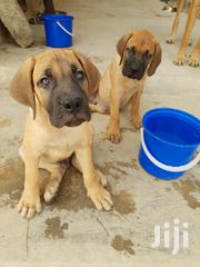 Young Male Purebred Boerboel | Dogs & Puppies for sale in Greater Accra, Ga South Municipal