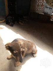 Baby Female Mixed Breed German Shepherd Dog | Dogs & Puppies for sale in Greater Accra, Accra new Town