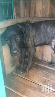 South African Mastiff Dog, 1 Year Old | Dogs & Puppies for sale in Greater Accra, Labadi-Aborm