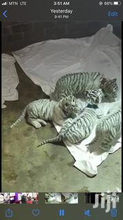 Already Tamed Tiger Cub | Other Animals for sale in Greater Accra, Dansoman