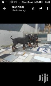 Baby Male Purebred Doberman Pinscher | Dogs & Puppies for sale in Eastern Region, New-Juaben Municipal