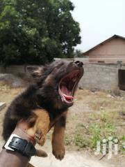 Baby Male Purebred German Shepherd Dog | Dogs & Puppies for sale in Greater Accra, Achimota