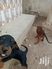 Baby Male Mixed Breed Doberman Pinscher   Dogs & Puppies for sale in Greater Accra, Adenta Municipal