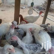 Turkey Chicks | Livestock & Poultry for sale in Eastern Region, Akuapim North