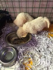 Baby Male Purebred Poodle | Dogs & Puppies for sale in Greater Accra, Ga South Municipal
