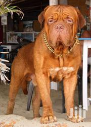 Bordeaux French Massive Mastiff For Cross Or Stud Services | Dogs & Puppies for sale in Greater Accra, Ga West Municipal