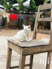 Senior Male Purebred Mongrel | Cats & Kittens for sale in Greater Accra, Tesano