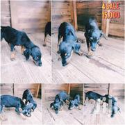Baby Male Purebred Doberman Pinscher   Dogs & Puppies for sale in Greater Accra, Accra Metropolitan