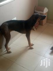 Adult Female Mixed Breed Doberman Pinscher | Dogs & Puppies for sale in Greater Accra, Achimota