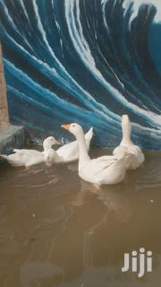 White Geese   Livestock & Poultry for sale in Central Region, Awutu-Senya