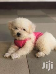 Maltese Available | Dogs & Puppies for sale in Greater Accra, Tema Metropolitan