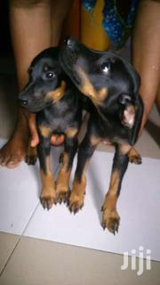 Doberman Pure Breed Puppies | Dogs & Puppies for sale in Western Region, Ahanta West