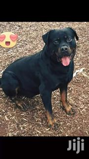 Rottweiler For Crossing/Stud | Dogs & Puppies for sale in Greater Accra, Accra Metropolitan