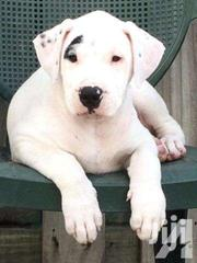 Full Breed Dogo Argentino Puppy For Sale | Dogs & Puppies for sale in Greater Accra, Dansoman