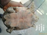 African Side Neck Turtle | Reptiles for sale in Greater Accra, Dansoman