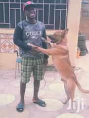 German Shepherd For Crossing | Dogs & Puppies for sale in Greater Accra, Agbogbloshie