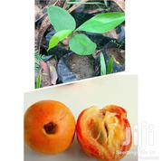 African Star Fruit Seedlings For Sale .   Feeds, Supplements & Seeds for sale in Ashanti, Ahafo Ano South