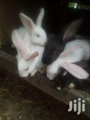 HEALTHY & HEAVY RABBITS FOR SALE   Livestock & Poultry for sale in Greater Accra, Adenta Municipal