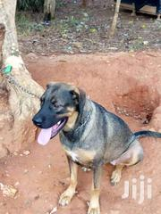 Dog's | Dogs & Puppies for sale in Ashanti, Offinso Municipal