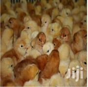 Quality Day Old Poultry Chicks   Livestock & Poultry for sale in Ashanti, Ejisu-Juaben Municipal
