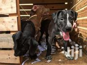 Pitbull  (Terrier) American Pedigree Pups | Dogs & Puppies for sale in Greater Accra, East Legon