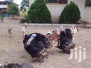 Best Turkeys Breed For Better Profit | Livestock & Poultry for sale in Central Region, Cape Coast Metropolitan