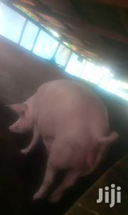 Piglets For Sale(Large White Breeds)   Livestock & Poultry for sale in Brong Ahafo, Sunyani Municipal