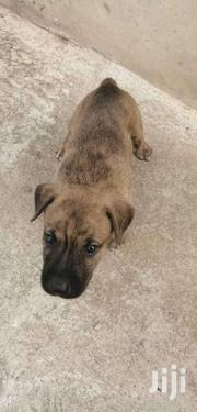 Dogs For Sale | Dogs & Puppies for sale in Greater Accra, Ga South Municipal