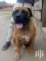 Young Female Purebred Boerboel | Dogs & Puppies for sale in Greater Accra, Kwashieman