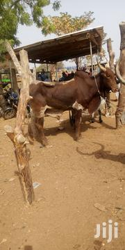 Cow For Sellers | Livestock & Poultry for sale in Northern Region, Tamale Municipal