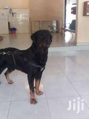 Pedigree German Rottweiler Male For Stud/Crossing. | Dogs & Puppies for sale in Greater Accra, Roman Ridge