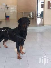 Rottweiler   Dogs & Puppies for sale in Greater Accra, Accra Metropolitan