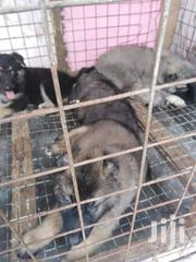 Pedigree Caucasian Shepherd Puppies | Dogs & Puppies for sale in Greater Accra, Nungua East