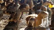 Two Weeks Old Quails Day Old Guinaflow &Turkeys For Sell | Livestock & Poultry for sale in Central Region, Agona East