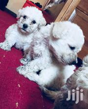 Baby Male Purebred Poodle | Dogs & Puppies for sale in Greater Accra, Accra Metropolitan