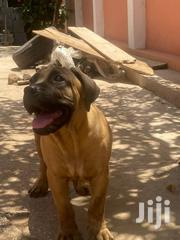 Baby Male Purebred Boerboel | Dogs & Puppies for sale in Greater Accra, Accra Metropolitan