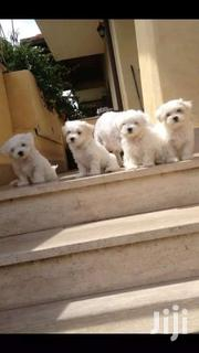 Baby Male Purebred Maltese | Dogs & Puppies for sale in Greater Accra, Accra Metropolitan