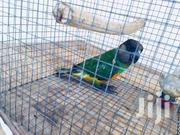 Pure Parrots | Birds for sale in Greater Accra, Dansoman
