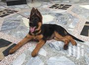 Baby Female Purebred German Shepherd Dog | Dogs & Puppies for sale in Greater Accra, Tema Metropolitan