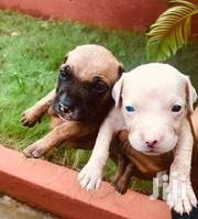 Pedigree Pitbulls For Sale | Dogs & Puppies for sale in Greater Accra, Roman Ridge