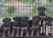 German Shepherd Puppies For Sale | Dogs & Puppies for sale in Central Region, Awutu-Senya
