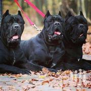 Cane Corso | Dogs & Puppies for sale in Brong Ahafo, Berekum Municipal