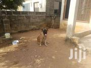 Bullmastiff For Crossing | Dogs & Puppies for sale in Central Region, Awutu-Senya
