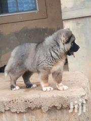 Pure Breed Caucasian Shepherd Puppies For Sale | Dogs & Puppies for sale in Central Region, Awutu-Senya