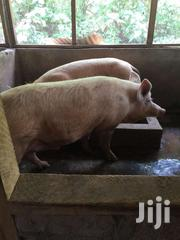 Pigs For Sale At Affordable Prices   Livestock & Poultry for sale in Ashanti, Ahafo Ano North