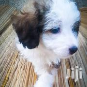 Poodle Toy For Sale | Dogs & Puppies for sale in Greater Accra, Kwashieman