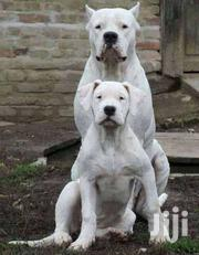 Dogo Argentino | Dogs & Puppies for sale in Brong Ahafo, Berekum Municipal