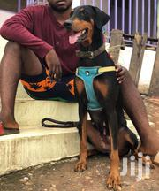 Female Adult Doberman | Dogs & Puppies for sale in Greater Accra, Odorkor